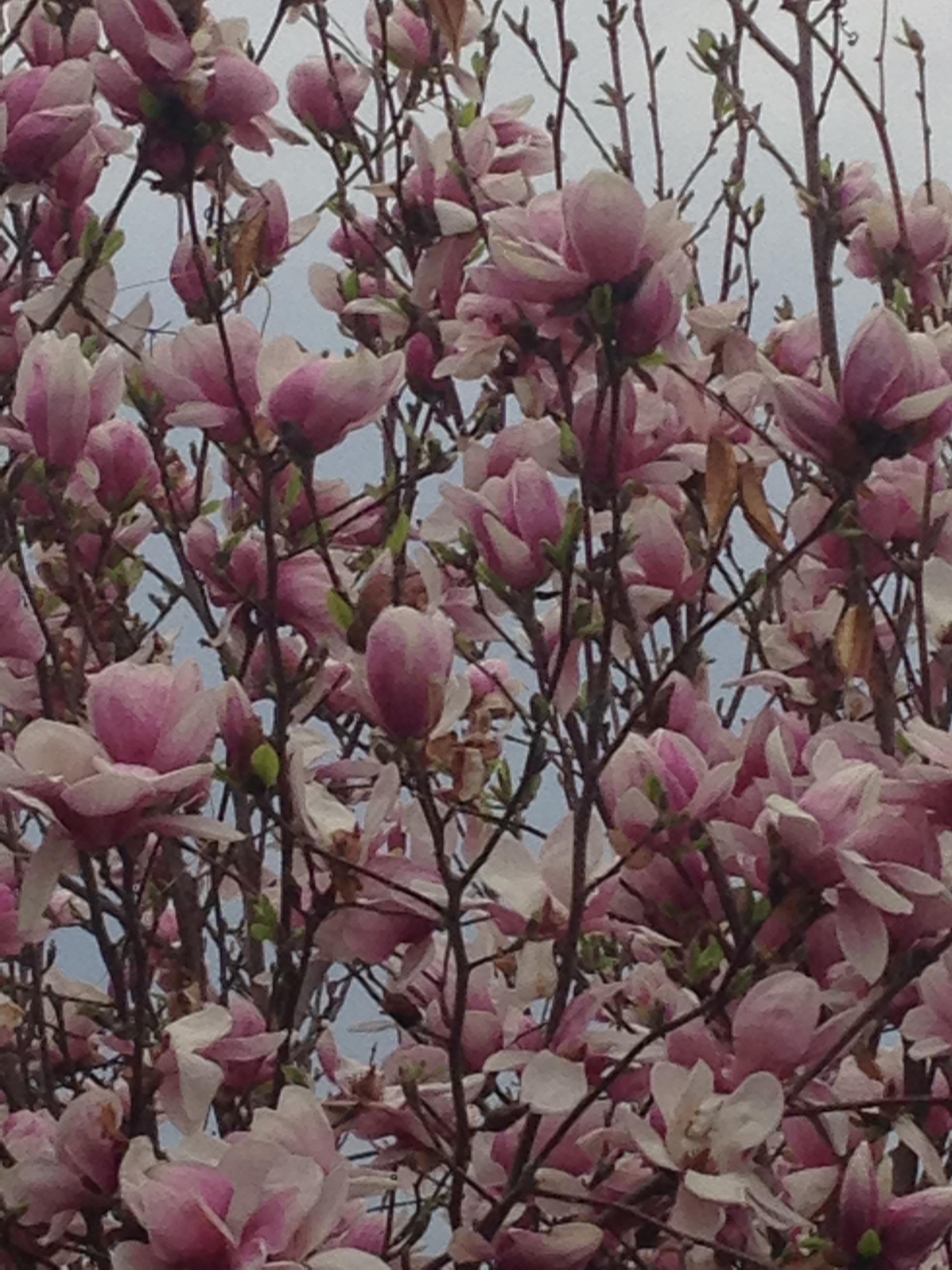 Magnolia tree in the garden